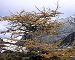 Одинокая лиственница в долине реки Кобыла-Ю осенью