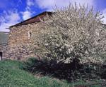 Цветущее дерево у дома