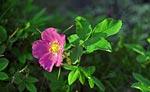 Полярная роза